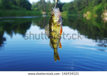 Perch caught on spinning - stock photo
