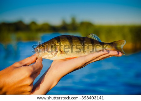 perch fish - stock photo