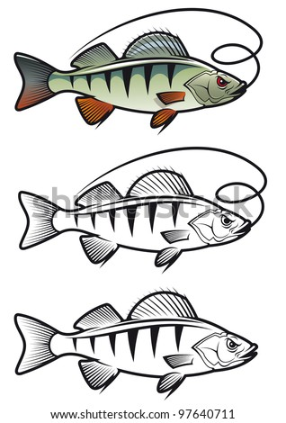 Perch fish in three variations isolated on white background for fishing mascot and emblem design, such  a logo. Vector version also available in gallery - stock photo