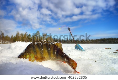perch ice fishing in Scandinavia - stock photo