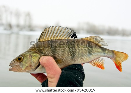 Perch in fisherman's hand - stock photo