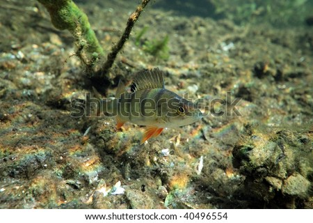 Perch in the lake - stock photo