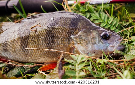 perch lying on the grass - stock photo