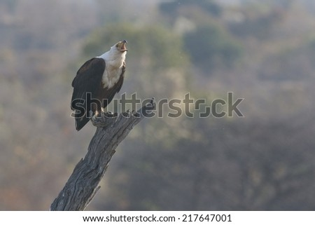 Perched adult African Fish-Eagle calling against blurry African woodland background. - stock photo