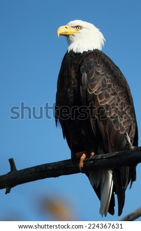 Perched Bald Eagle with a blue sky background - stock photo