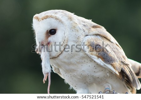 Perched barn owl holding a dead white mouse, by its neck, in its beak