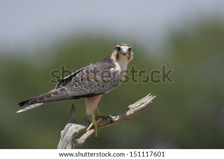 Perched Lanner falcon - stock photo