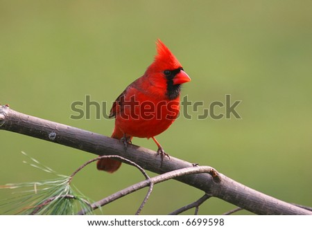 Perched male Northern Cardinal in winter