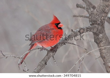 Perched on a branch, a male cardinal fluffs its soft downy feathers helping it tolerate a cold spring day. In a tan brown forest, this bright red bird catches one's eye. - stock photo