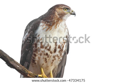 Perched Red-tailed Hawk (buteo jamaicensis) isolated on white - stock photo