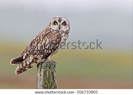 Perched Short-eared Owl, Asio flammeus, from the Orkney moors