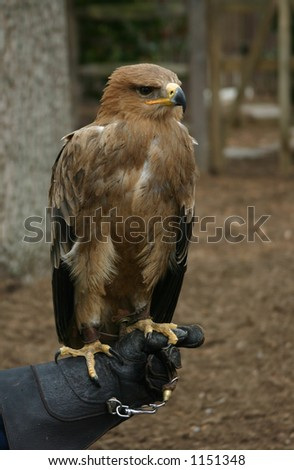 Perched Tawny Eagle on Hand of Trainer - stock photo