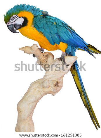 Perching Blue and Gold Macaw isolated on white