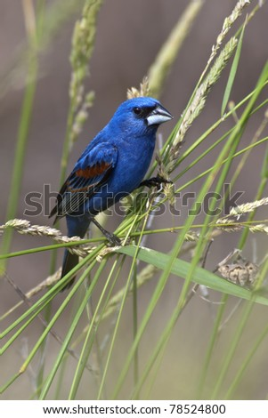 Perching Blue Grosbeak in habitat. - stock photo