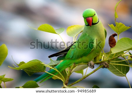 Perching Green Parrot over the Ganges in Varanasi, India - stock photo