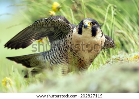 Peregrine Falcon amidst rocks and foliage/Peregrine Falcon/Peregrine Falcon (falco peregrines) - stock photo