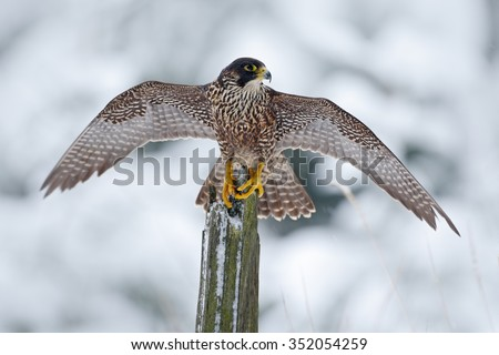 Peregrine Falcon, Bird of prey sitting on the tree trunk with open wings during winter with snow, Germany - stock photo