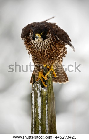 Peregrine Falcon, bird of prey sitting on tree trunk with open wings during winter with snow, Italy. Winter scene with peregrine falcon. Snowy winter in the forest. Action landing scene with falcon. - stock photo