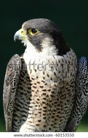 Peregrine falcon bird of prey with beautiful plumage - stock photo