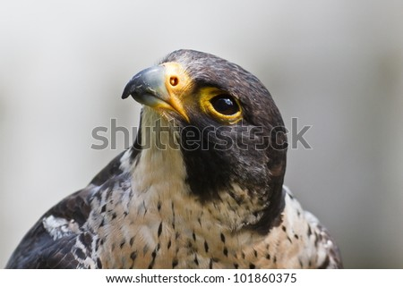 Peregrine Falcon close up - stock photo