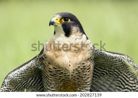 Peregrine Falcon close up portrait against a blurred light green background/Peregrine Falcon/Peregrine Falcon (falco peregrines) - stock photo