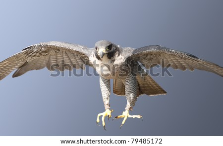 Peregrine Falcon coming in at speed to be sure of its prey - stock photo