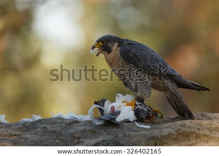 Peregrine falcon eating her prey - stock photo