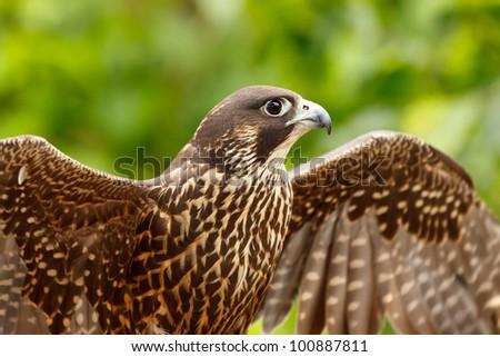 Peregrine Falcon, Falco peregrinus - stock photo