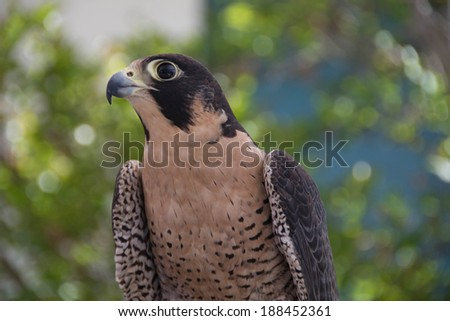 Peregrine Falcon (Falco peregrinus) at Ojai Raptor Center in Ojai, California