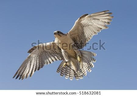 Peregrine Falcon Falco Peregrinus Flying In A Desert Near Dubai UAE