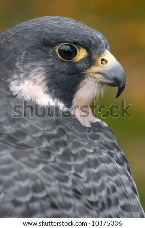 Peregrine Falcon (Falco peregrinus) Looks Over Back - captive bird - stock photo