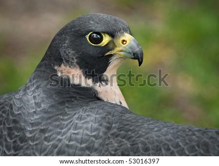 Peregrine Falcon (Falco peregrinus) Outstretched Wings - captive bird - stock photo