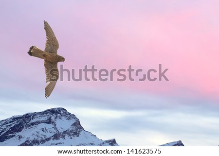 Peregrine falcon flying over snow mountain sunset background - stock photo