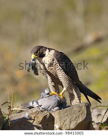 Peregrine Falcon hunting a pigeon. - stock photo
