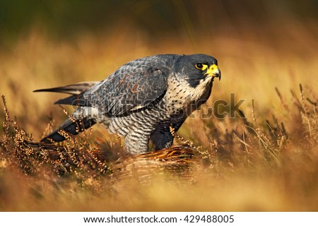 Peregrine falcon in the grass. Bird of prey Peregrine Falcon in heather meadow. Peregrine falcon in the nature habitat. Summer day with peregrine falcon. Peregrine falcon in the forest. - stock photo