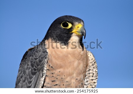 Peregrine falcon keeping a watchful eye out for dinner - stock photo