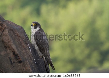 Peregrine Falcon looking to the sky