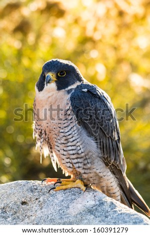 Peregrine Falcon perched on rock in early morning light - stock photo