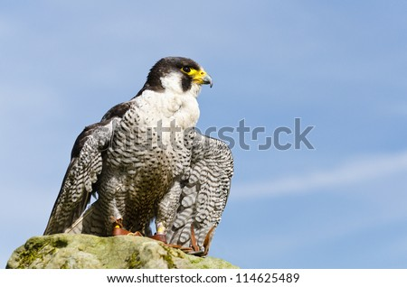 Peregrine Falcon / Peregrine Falcon (falco peregrinus) perched on rock - stock photo