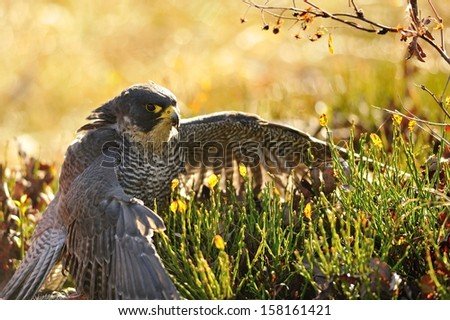 Peregrine Falcon sitting on the ground and eating his prey - stock photo