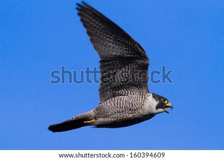 Peregrine Falcon soaring - stock photo