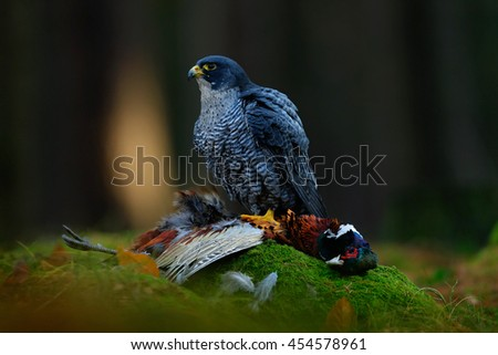 Peregrine falcon with catch Pheasant. Beautiful bird of prey Peregrine Falcon feeding kill big bird on the green moss rock with dark forest in background. Action wildlife feeding scene from nature. - stock photo