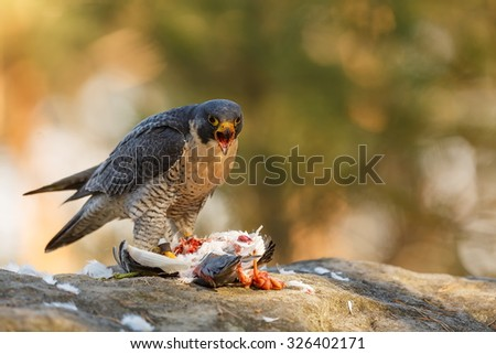 Peregrine falcon with prey - stock photo