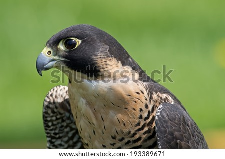 Peregrine Falcons were formerly endangered but have been reintroduced in many regions of the USA.  Size and strong face patterns mark this species. - stock photo