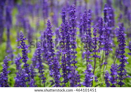 Perennials small purple garden flowers salvia stock photo royalty perennials small purple garden flowers salvia mightylinksfo Image collections