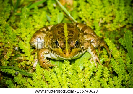 Perez's Frog - stock photo