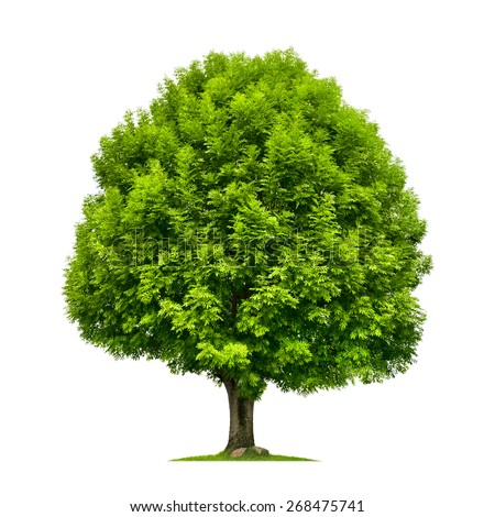 Perfect ash tree with lush green foliage and nice shape isolated on pure white background - stock photo