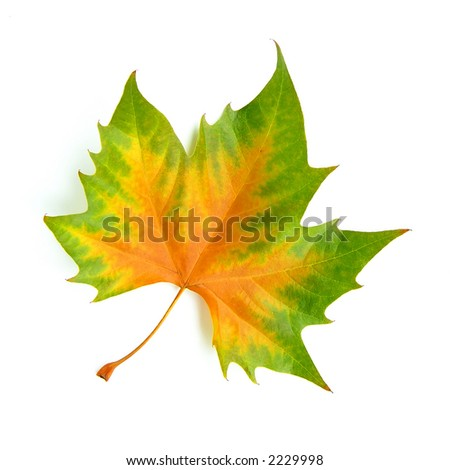 perfect autumn leaf isolated on white - stock photo