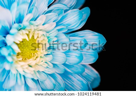 perfect blue chrysanthemum flower with black background