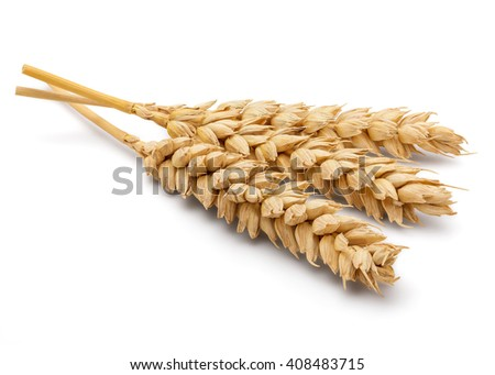 Perfect Cleaned Dried Wheat Ear Isolated on White Background in Full Depth of Field with Clipping Path. - stock photo